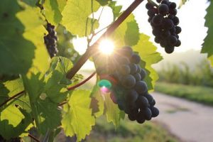 Five of the Best English Wines